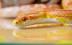 this isn't actually fritter. just another corn snake on google images